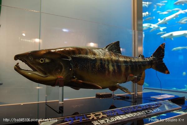 D1-03.千歲.鮭魚的故鄉 (31).jpg
