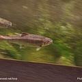 D1-03.千歲.鮭魚的故鄉 (34).jpg
