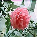 士林官邸玫瑰很多