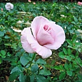 紫藕色的玫瑰