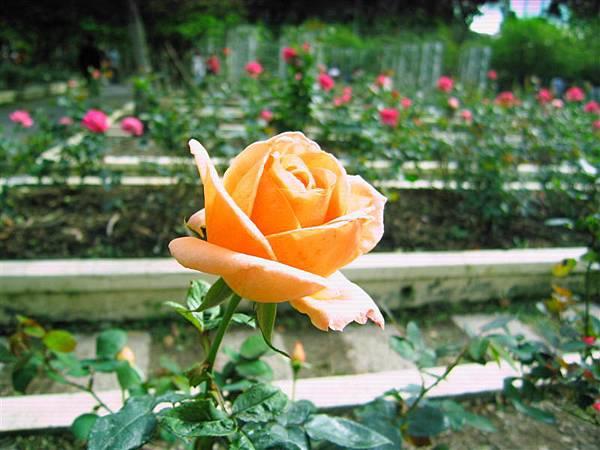 橘色的玫瑰