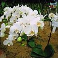 白色的蘭花