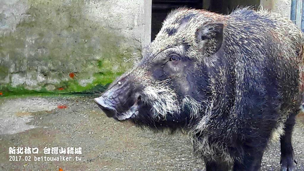台灣山豬城