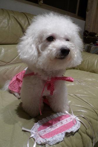 比熊犬~樂樂公主變身女僕!! 2.jpg