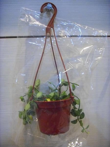 溫室套袋.JPG