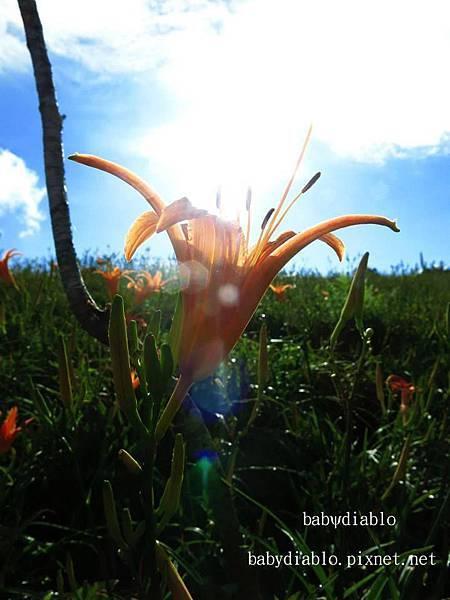赤柯山-逆光金針花