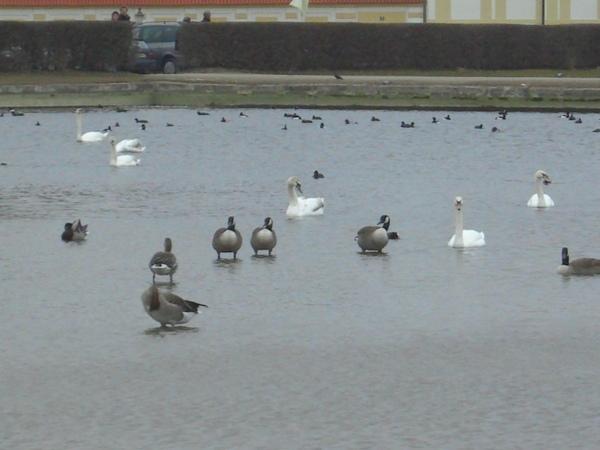 寧芬堡的水鳥們