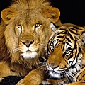 老虎與獅子.jpg