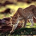 豹.jpg