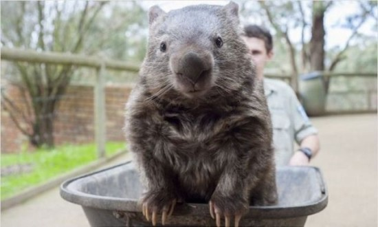 the_oldest_living_wombat_in_the_world_640_04-550x330