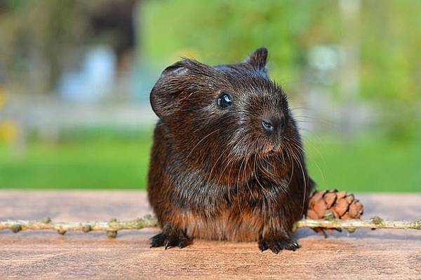 guinea-pig-498157_640.jpg