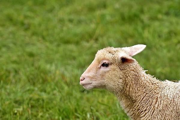 lamb-2293793_640.jpg