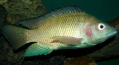 390px-Oreochromis-niloticus-Nairobi.JPG