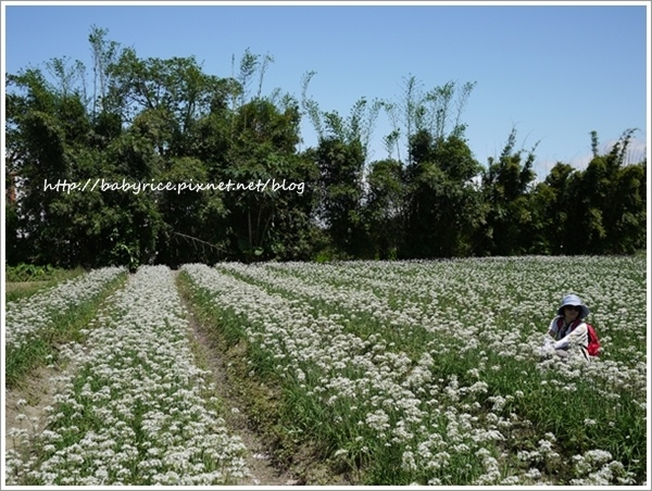 微涼九月・與韭菜花相約在大溪