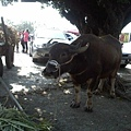 拉牛車的牛
