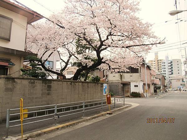 門外超美的櫻花樹,應該是吧!~