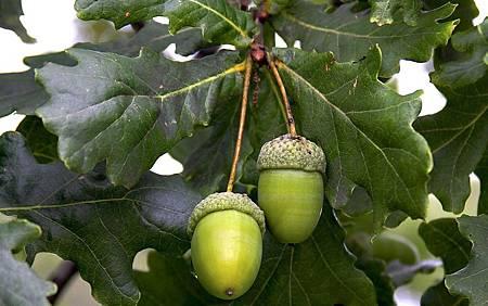 橡樹Oak.jpg