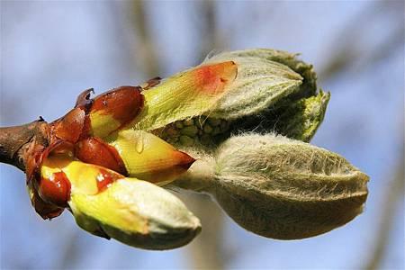 栗子芽Chestnut Bud