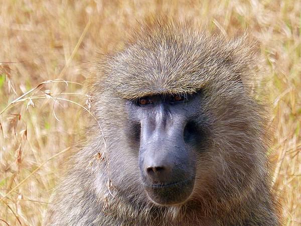 baboon-830766_960_720.jpg