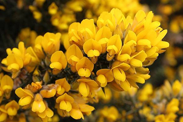 1200px-Ulex_europaeus_flowers.jpg