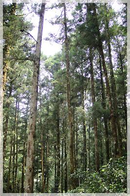 往明池路邊的樹林