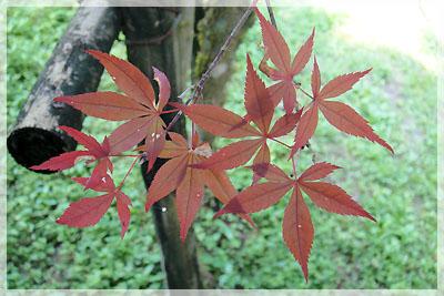 路邊樹上的紅葉