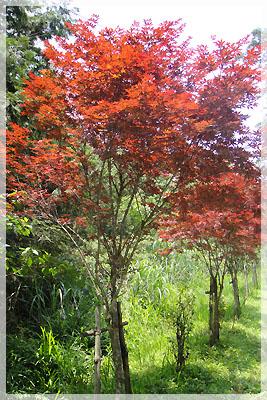 路邊有紅葉的樹