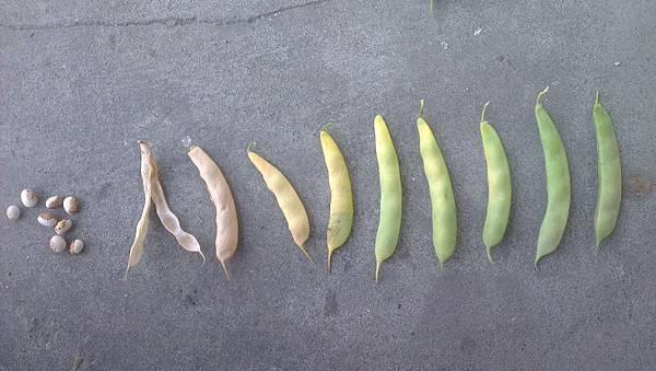 豆莢成熟演化過程