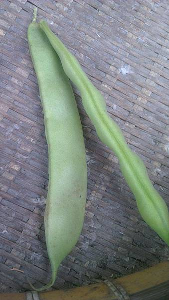 未成熟豆莢