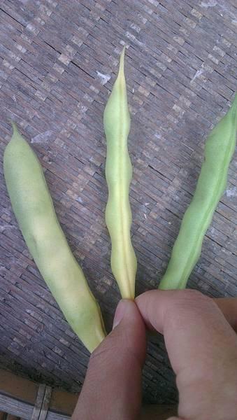 中間為採收豆莢