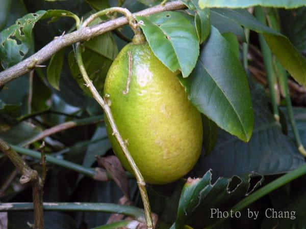 水果-香水檸檬-002.jpg