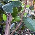 水果-檸檬-002.jpg