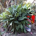 植物-萬年青.jpg