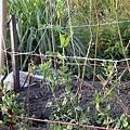 蔬菜-甜碗豆-003.jpg