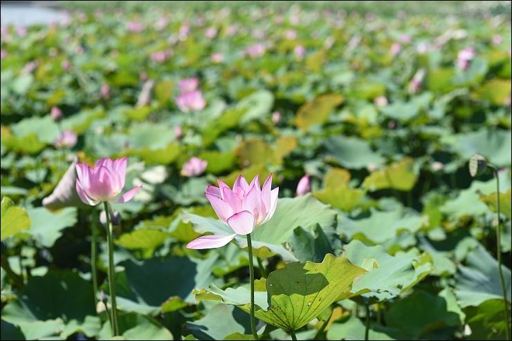 白河蓮花季