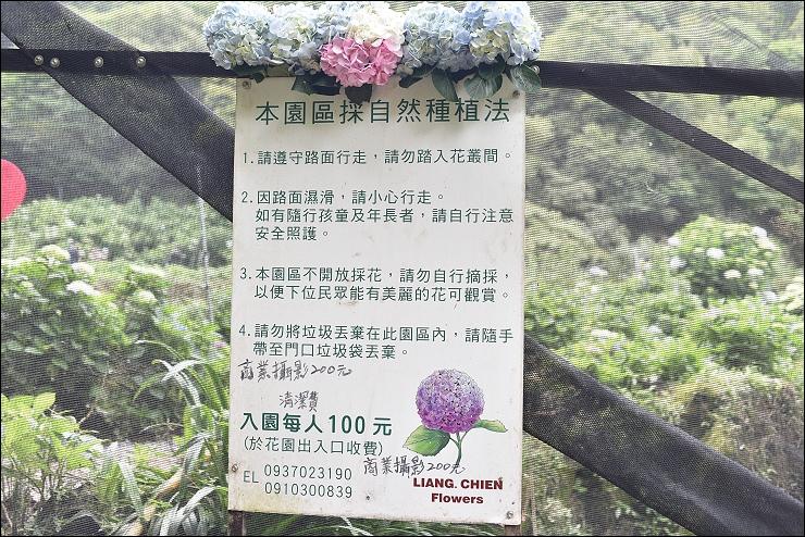 陽明山繡球花