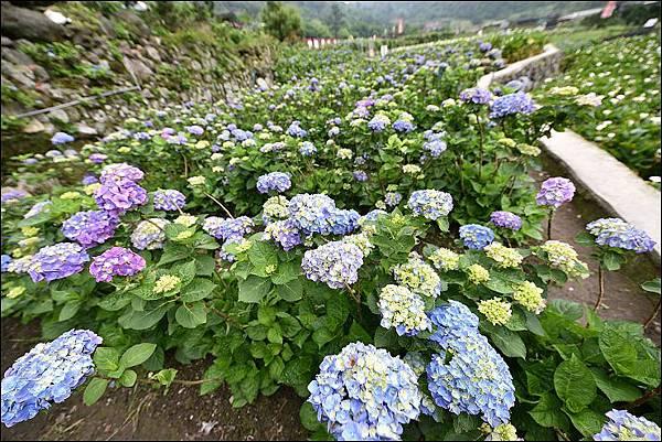 大梯田繡球花