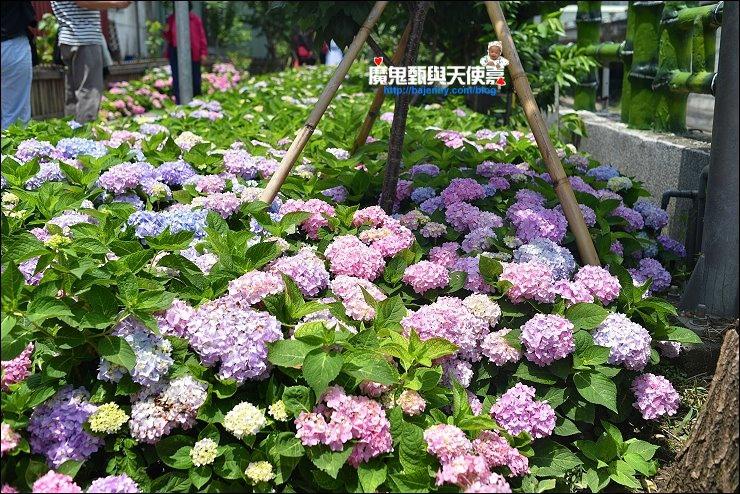 泰山繡球花