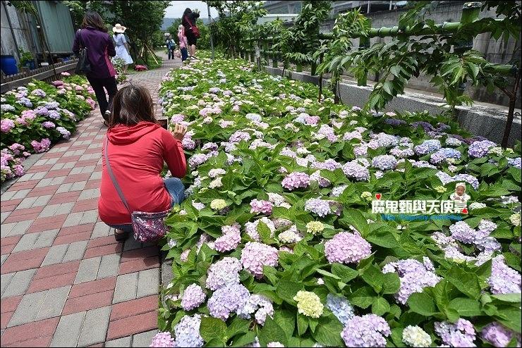 台北繡球花