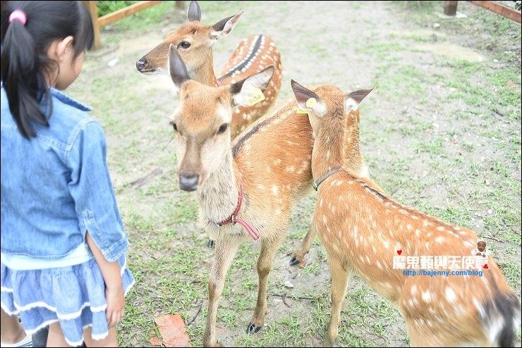 梅花鹿餵食