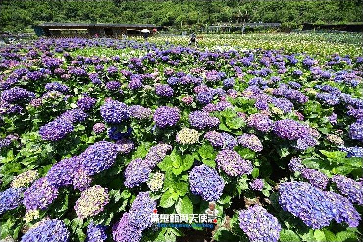 竹子湖繡球花