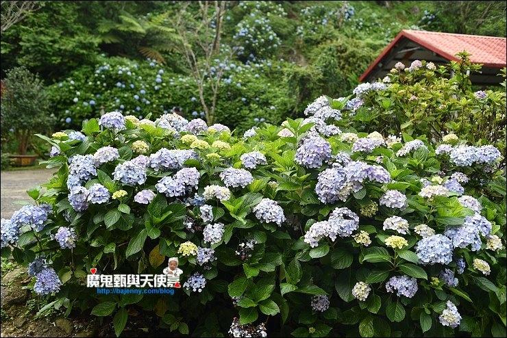 苗栗繡球花