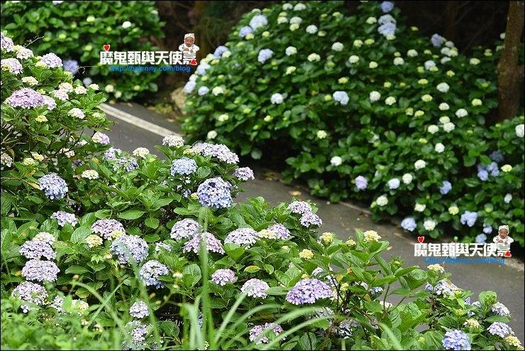 高山青繡球花