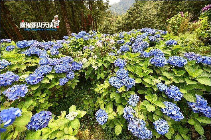 明池繡球花