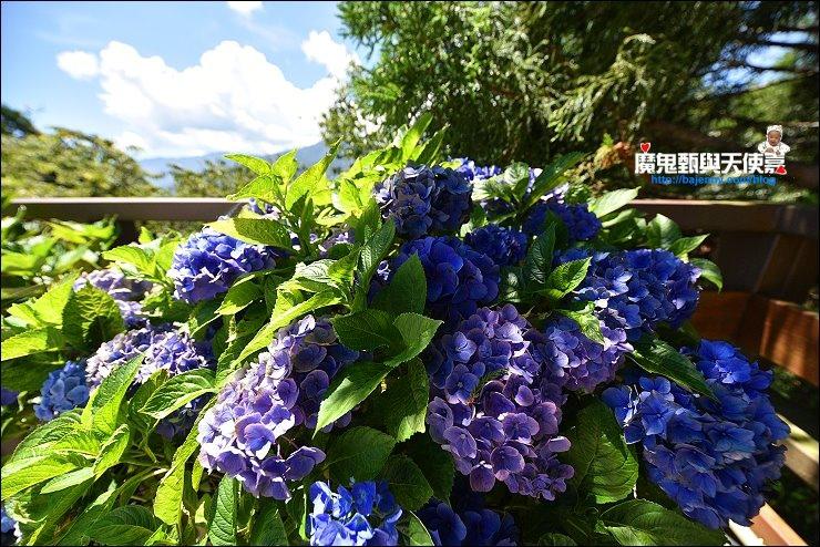 雪霸農場繡球花