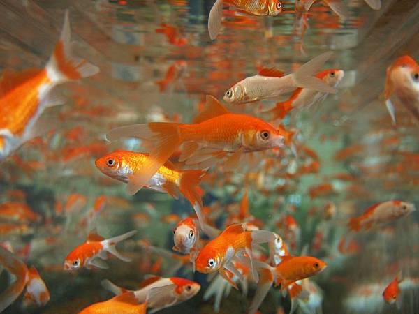 goldfish-178584_1280.jpg