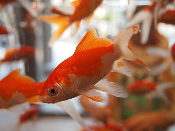goldfish-178579_1280.jpg