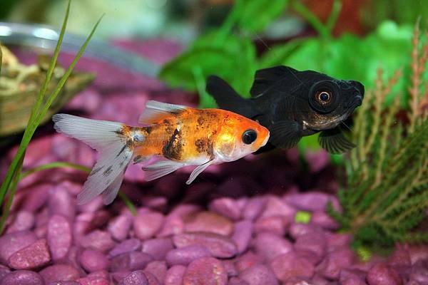 goldfish-672126_1280.jpg