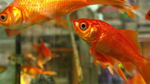 goldfish-522664_1280.jpg