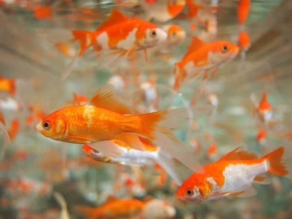 goldfish-178585_1280.jpg